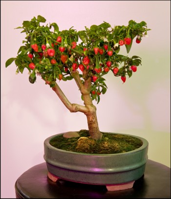 Bonsai chili