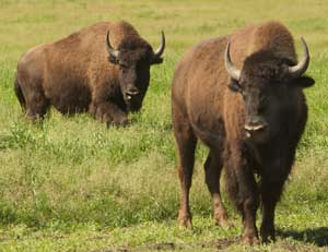 Bison...the other red meat.