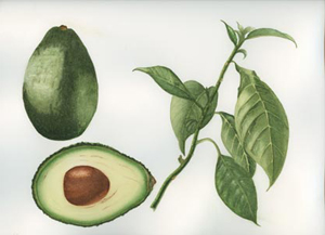 Avocado botanical illustration