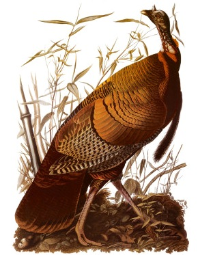 American Turkey, by John James Audubon