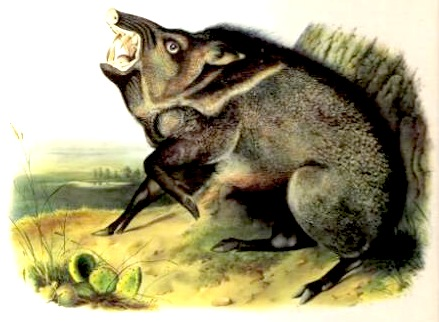 Wild Hog, by John James Audubon