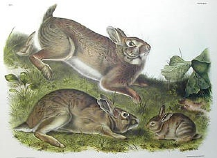 Audubon's Cottontail Rabbits