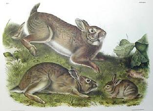 Audubon's Cottontail Rabbits