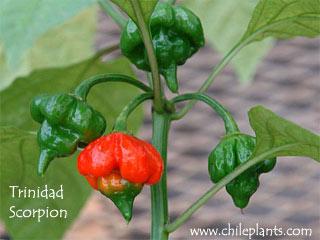 'Trinidad Scorpion'