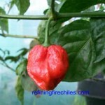 The Rare Trinidad 7 Pot Superhot Chile