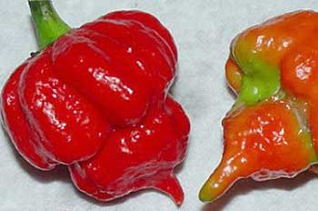 Trinidad Scorpion pods