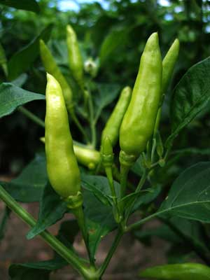 Thai Bird Chiles