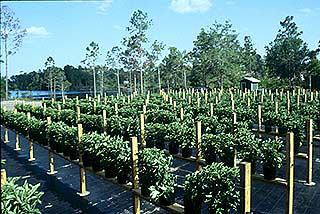 Datil pepper plants