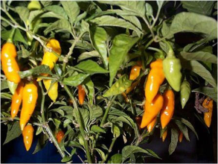 Datil pepper pods.