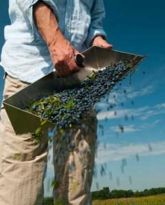 harvested wild blueberries
