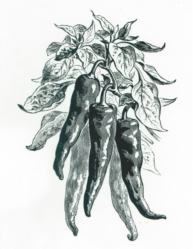 Early Illustration of a Mexican Cayenne Type