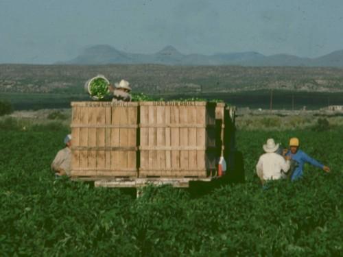 Harvesting Jalapenos