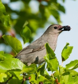 Catbird Eating a Mulberry
