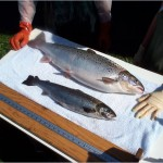Genetically Engineered Salmon Go Before FDA Approval Panel