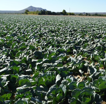 Cabbage Field Near Las Cruces