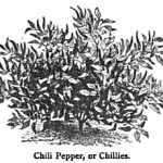 19th Century Chile Varieties in London and Paris