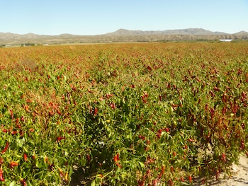 Red Chile Field, Arrey, New Mexico