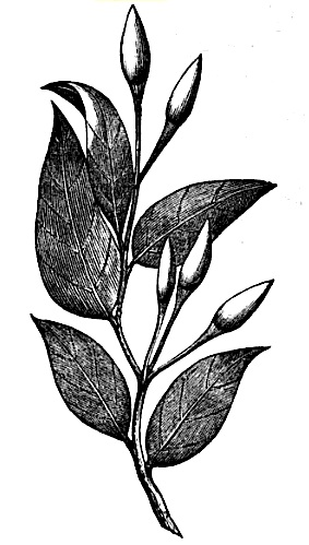 """Bird Pepper"" Illustration, 1858"