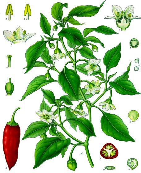 Botanical Illustration from Köhler's Medicinal Plants, 1887