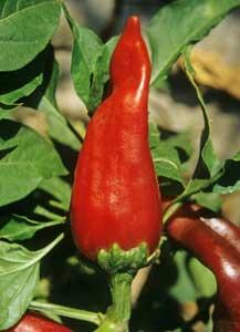 Chimayo chile pod