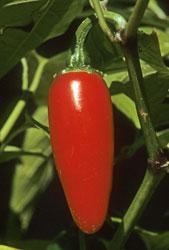 A red jalapeño pod