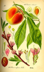 German Peach Botanical Illustration