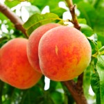Perfectly Pungent Peaches