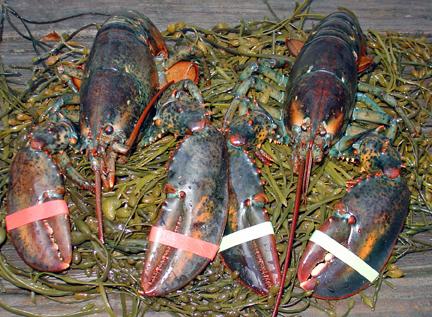 live lobsters on rockweed