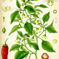 Capsicum_annuum_-_Köhler–s_Medizinal-Pflanzen-027 copy