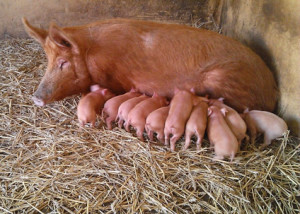 tamworth-sow-and-ten-piglets-at-LDWLP-web